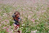 """Bắc Hà – Lào Cai: """"Hoa tam giác mạch nở sớm hơn so với dự định"""""""