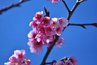 Đến Sapa Ngắm Hoa Anh Đào Nhật Bản Khoe Sắc