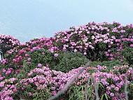 ngắm hoa đỗ quyên