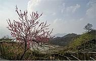 Hoa Đào Nở Muộn Rực Rỡ Khoe Sắc Trên Đất Lào Cai
