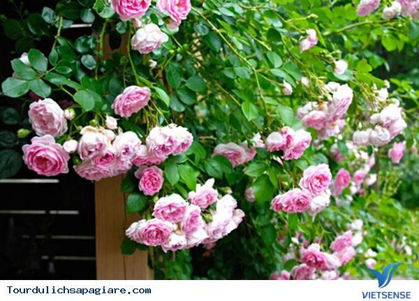 Vẻ đẹp kiêu sa của hoa hồng leo Sapa